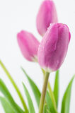 Beautiful pink tulips Stock Photography
