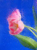 Beautiful pink tulips. On blue background stock photos