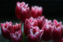 Beautiful pink tulips on a black background royalty free stock photography