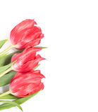 Beautiful pink tulips border on white Royalty Free Stock Images