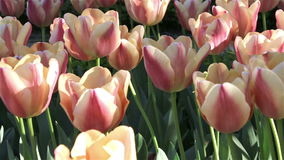 Beautiful pink tulips. stock video footage