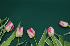 Beautiful Pink Tulips Bouquet Frame on Dark Green Bacground with Copy Space for Text. Chalk Board. Spring Time. Top View royalty free stock photo