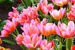 Beautiful pink tulips closeup. Royalty Free Stock Photos