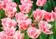 Beautiful pink tulips closeup. Stock Photography