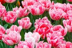 Beautiful pink tulips closeup. Stock Image