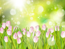 Beautiful pink tulips. EPS 10. Beautiful pink tulips on green bokeh background. EPS 10 vector file included Stock Photo