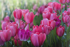 Beautiful pink Tulips in a field. Gorgeous colored Tulips in a field Royalty Free Stock Photos