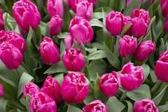 Beautiful pink and fresh tulips in the park stock images