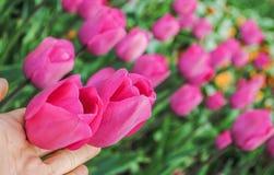 Beautiful pink tulips. In garden stock photos