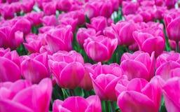 Beautiful pink tulips. In garden, spring season royalty free stock photos