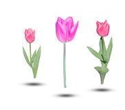 Beautiful pink tulips green leaf  on white background. Object with clipping path Royalty Free Stock Photos