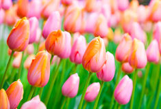 Beautiful pink tulips growing in fields Royalty Free Stock Photography