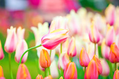 Beautiful pink tulips growing in fields Stock Photo
