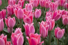 Beautiful pink tulips in the park stock photography