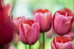Beautiful pink tulips Royalty Free Stock Image