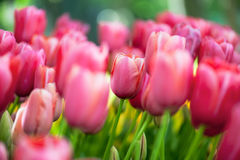 Beautiful pink tulips Stock Photography
