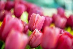 Beautiful pink tulips Stock Photos