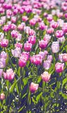 Beautiful pink tulips in the spring time. A beautiful pink tulips in the spring time Royalty Free Stock Image