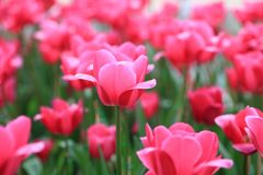 Beautiful pink tulips in the spring time,Close-up of closely bundled pink tulips flowers. Royalty Free Stock Photo