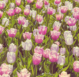Beautiful pink tulips in the spring time. Soft color Royalty Free Stock Photos