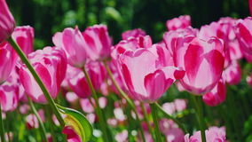 Beautiful pink tulips sway in the wind. Petals of flowers light the sun stock video