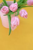 Beautiful pink tulips on yellow background Stock Images