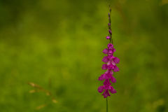 A beautiful pink turkish marsh gladiolus blossoming in a sunny afternoon meadow. Stock Images