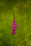 A beautiful pink turkish marsh gladiolus blossoming in a sunny afternoon meadow. Royalty Free Stock Images