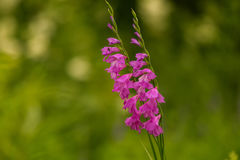 A beautiful pink turkish marsh gladiolus blossoming in a sunny afternoon meadow. Stock Image