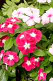 Beautiful pink vinca flowers or madagascar periwinkle Stock Images