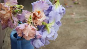 Beautiful pink , violet and blue iris flowers bloom. The bouquet is in the blue garden watering can outdoor. Close up. Inflorescences and petals swing in the stock video footage