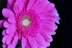 Daisy gerbera with water drops 3 Royalty Free Stock Photos