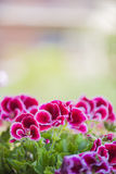 Beautiful pink and violet geranium flowers in the garden Royalty Free Stock Photography