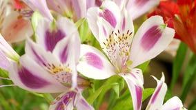 Beautiful Pink, Violet or Purple Lilium Flowers stock video footage