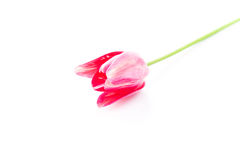 Beautiful pink violet tulip isolated Royalty Free Stock Image