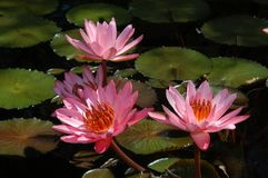 Birmingham Botanicals waterlillies. Beautiful pink water lillies bloom in a pool at the Birmingham Botanical Gardens in Birmingham, Alabama royalty free stock images