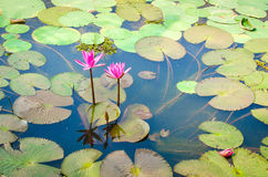 Beautiful Pink Water lilly in a pond. With green leaves Stock Photo