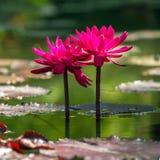 Beautiful pink water lily. Closeup Royalty Free Stock Image