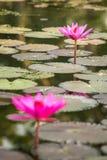 Beautiful pink water lily. Closeup Stock Photos