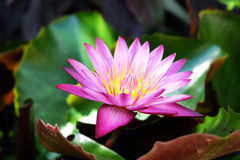 Beautiful pink water lily blooming in the lake Royalty Free Stock Photography