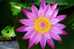 Beautiful pink water lily blooming in the lake Stock Photo