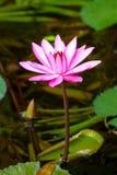 Beautiful pink water lily. Close-up Stock Photos