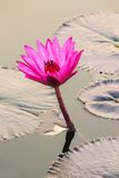 Beautiful pink water lily. Closeup Royalty Free Stock Images