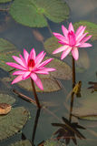Beautiful pink water lily Royalty Free Stock Photos