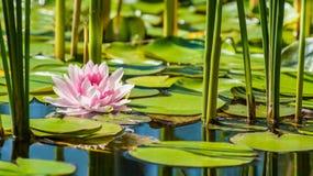 Beautiful pink water lily flower. Beautiful isolated pink water lily flower in clear water lake Royalty Free Stock Photo