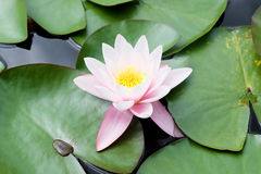 Beautiful pink water lily flower. Surrounded by green leaves floating on water Royalty Free Stock Photo