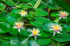 Beautiful pink water lily flowers Royalty Free Stock Photos