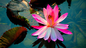 Beautiful pink water lily Stock Image