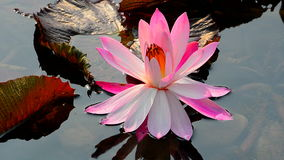 Beautiful pink water lily. Full opened beautiful pink water lily under the sun in a garden poind stock video footage