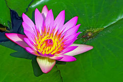 Beautiful pink water lily Stock Photos